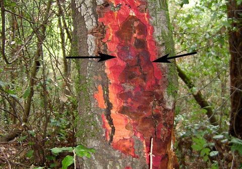 A canker on the inner bark of tanoak